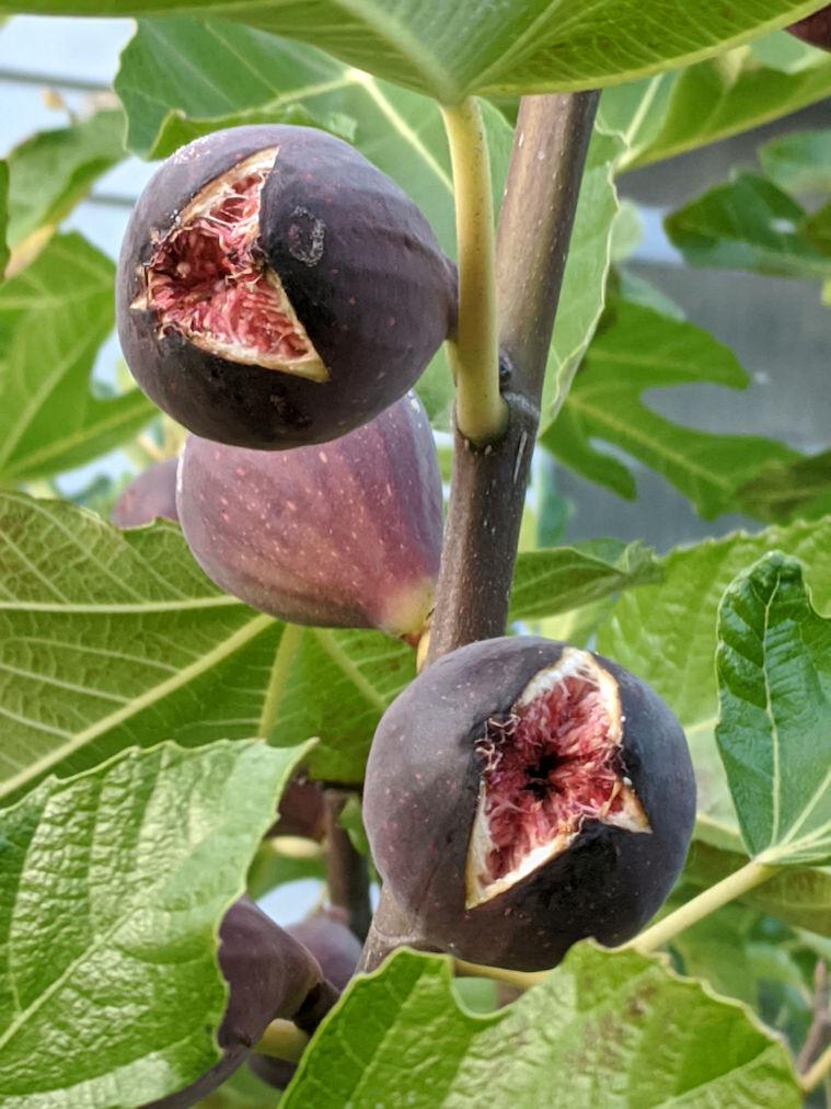 figs splitting